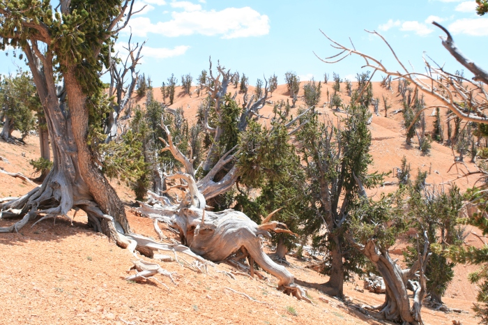Twisted Forest, Dixie National Forest, Utah Adventure Bucket List   Parks100
